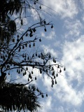 Grey-headed flying foxes in a tree in Royal Botanic Gardens, Melbourne