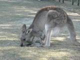 Murramarang National Park Eastern Grey Kangaroo